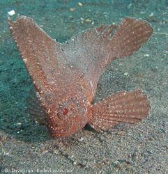 BD-080331-Lembeh-3312534-Taenianotus-triacanthus.-Lacepède.-1802-[Leaf-scorpionfish].jpg